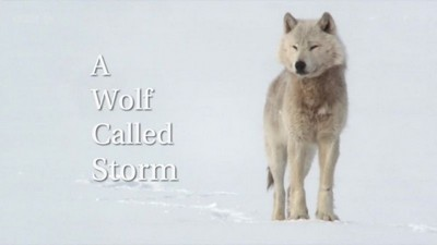 BBC - Natural World: A Wolf Called Storm (2012) PDTV XviD MP3-MVGroup